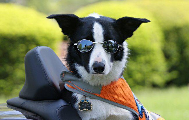 Бордер-колли в солнечных очках и фартуке.