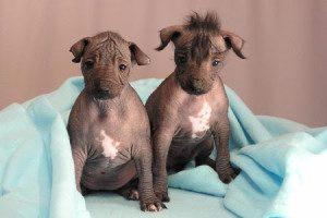 Щенки перуанской голой собаки под одеялом.