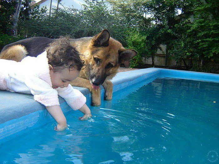 Немецкая овчарка у бассейна.
