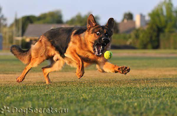 Немецкая овчарка играет с мячом.