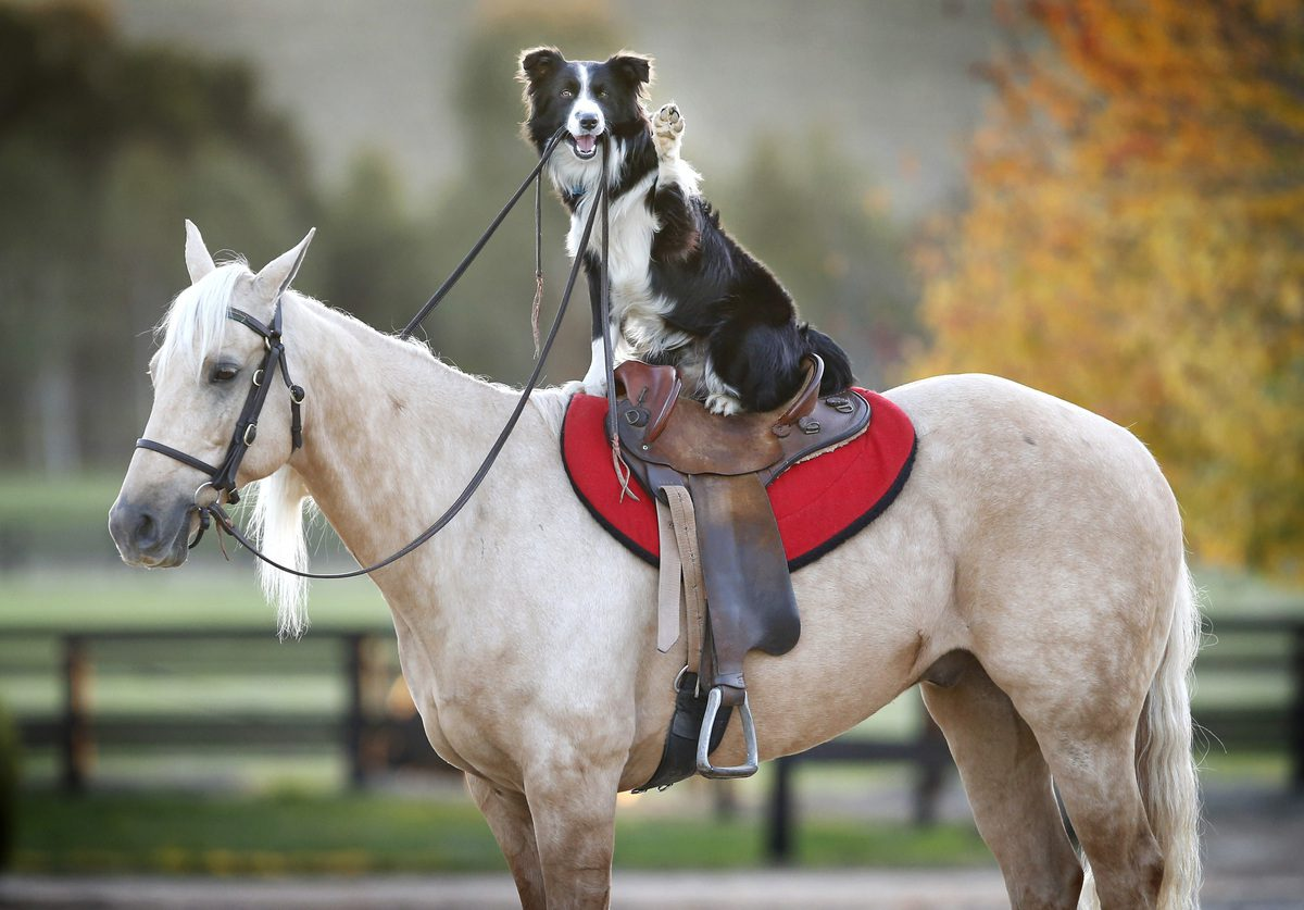 Бордер-колли едет на лошади.