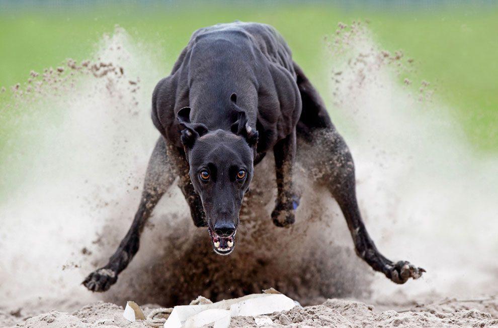Грейхаунд перепрыгивает через грязь.