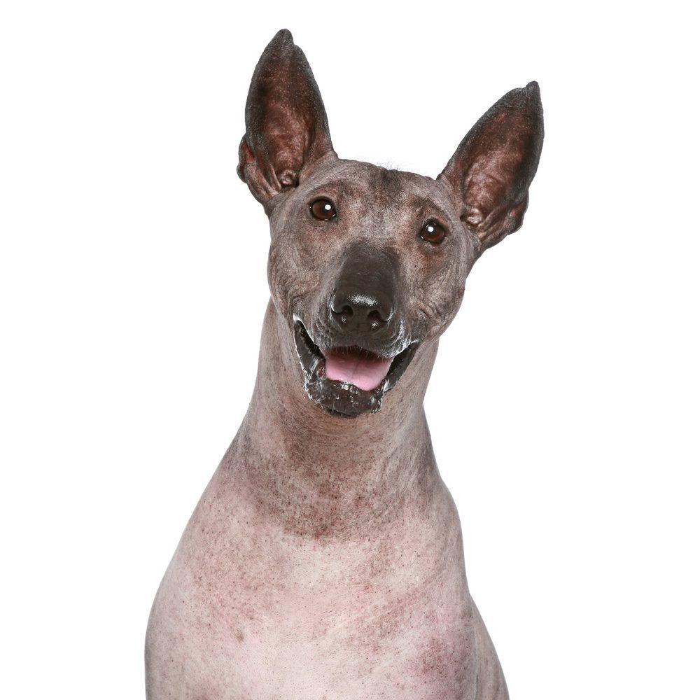Перуанская голая собака улыбается.