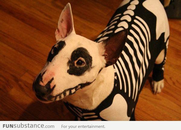 Бультерьер подготовился к хеллоуину.