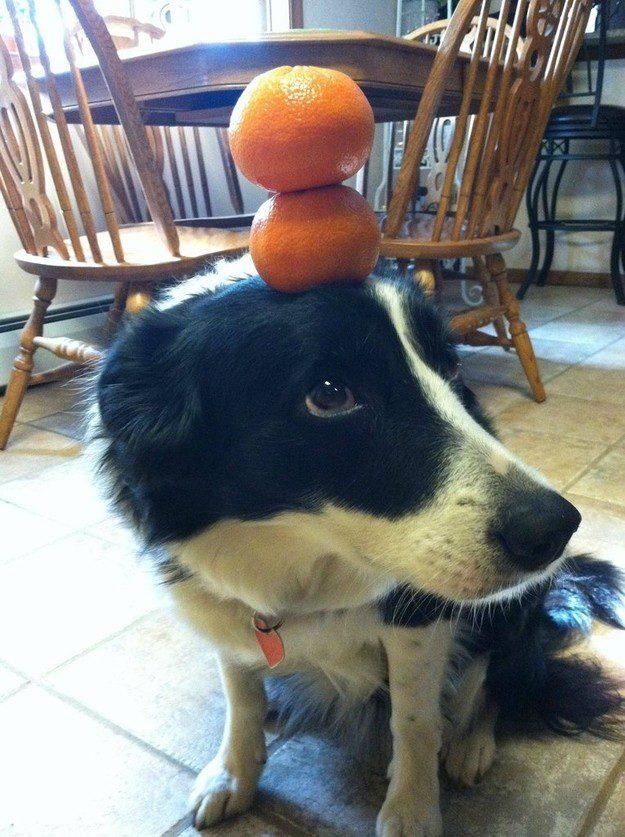 Бордер-колли держит мандарины на голове.