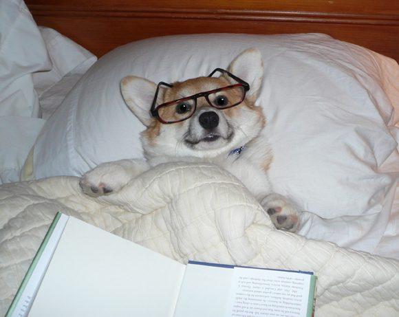 Вельш-корги лежит в кровати в очках и читает книгу.