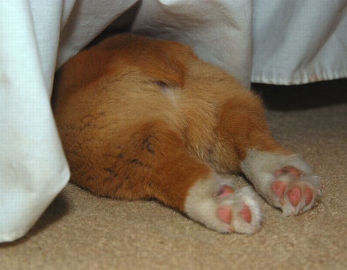 Вельш-корги спрятался под кроватью.