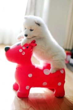 Самоед катается на игрушечной лошадке.