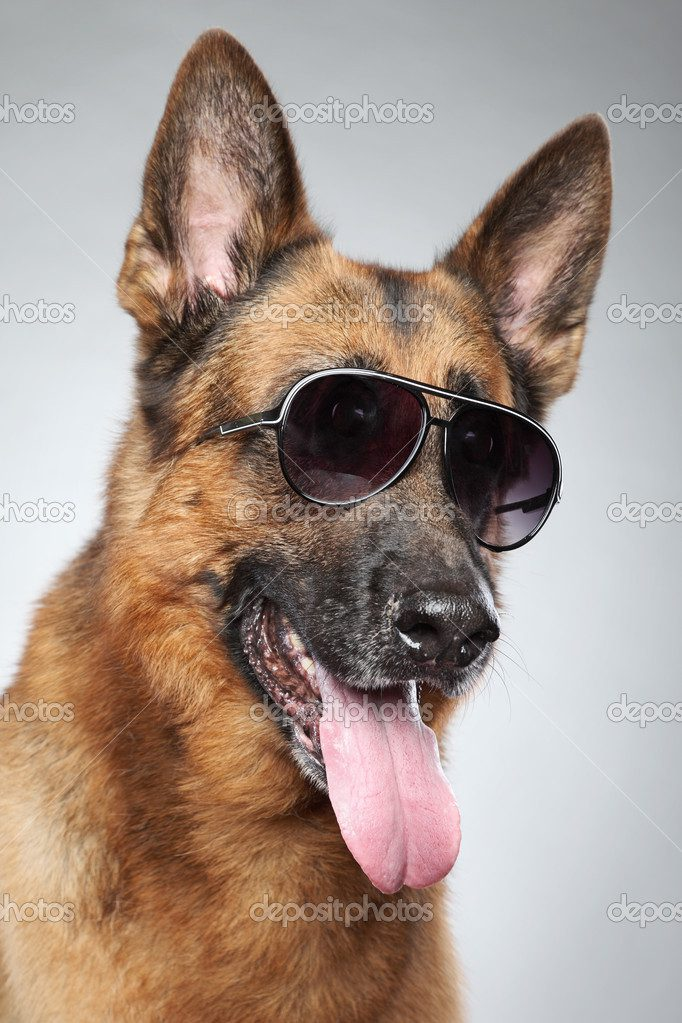 Немецкая овчарка  в солнечных очках.