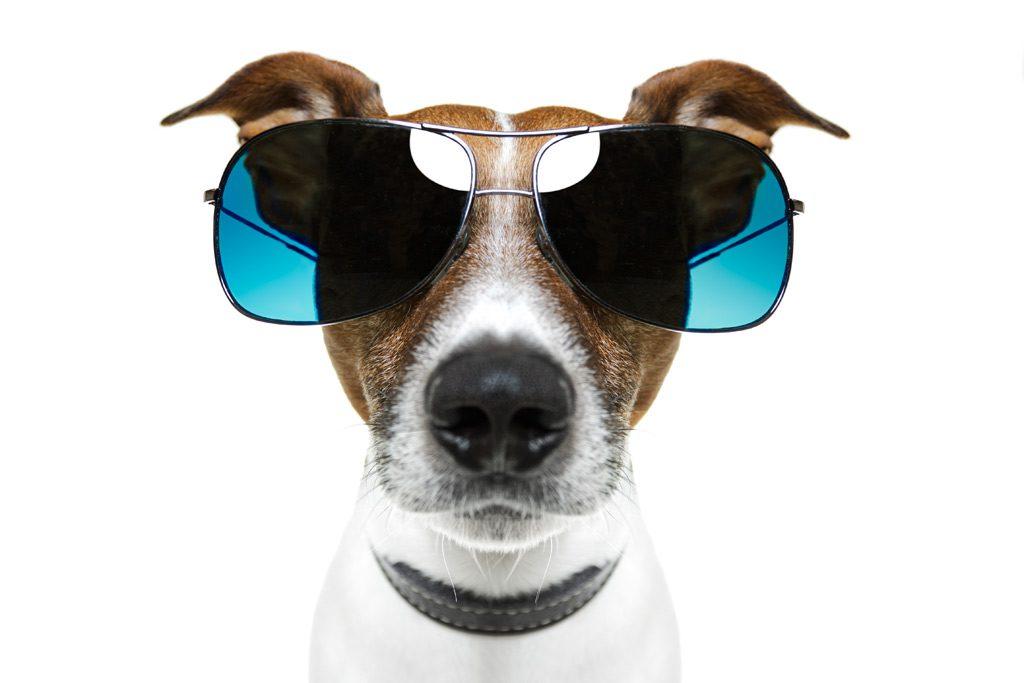 Джек-рассел-терьер в солнечных очках.