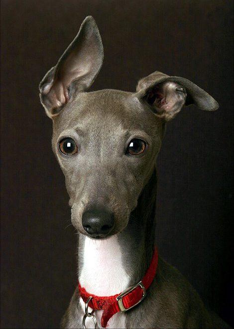 Грейхаунд с ушами , расставленными в разные стороны.