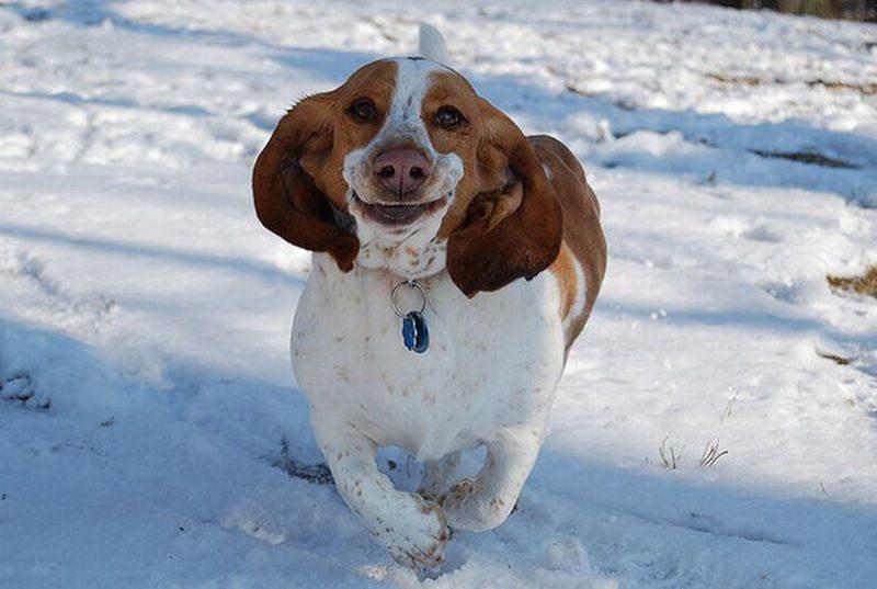 Бассет-хаунд бежит и улыбается.