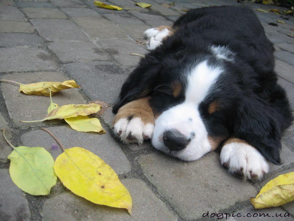Бернский зенненхунд лежит на земле среди осенних листьев.