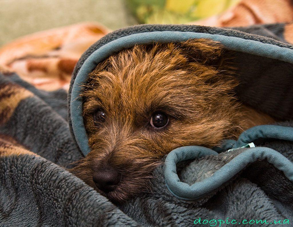 Бриар выглядывает из-под одеяла.