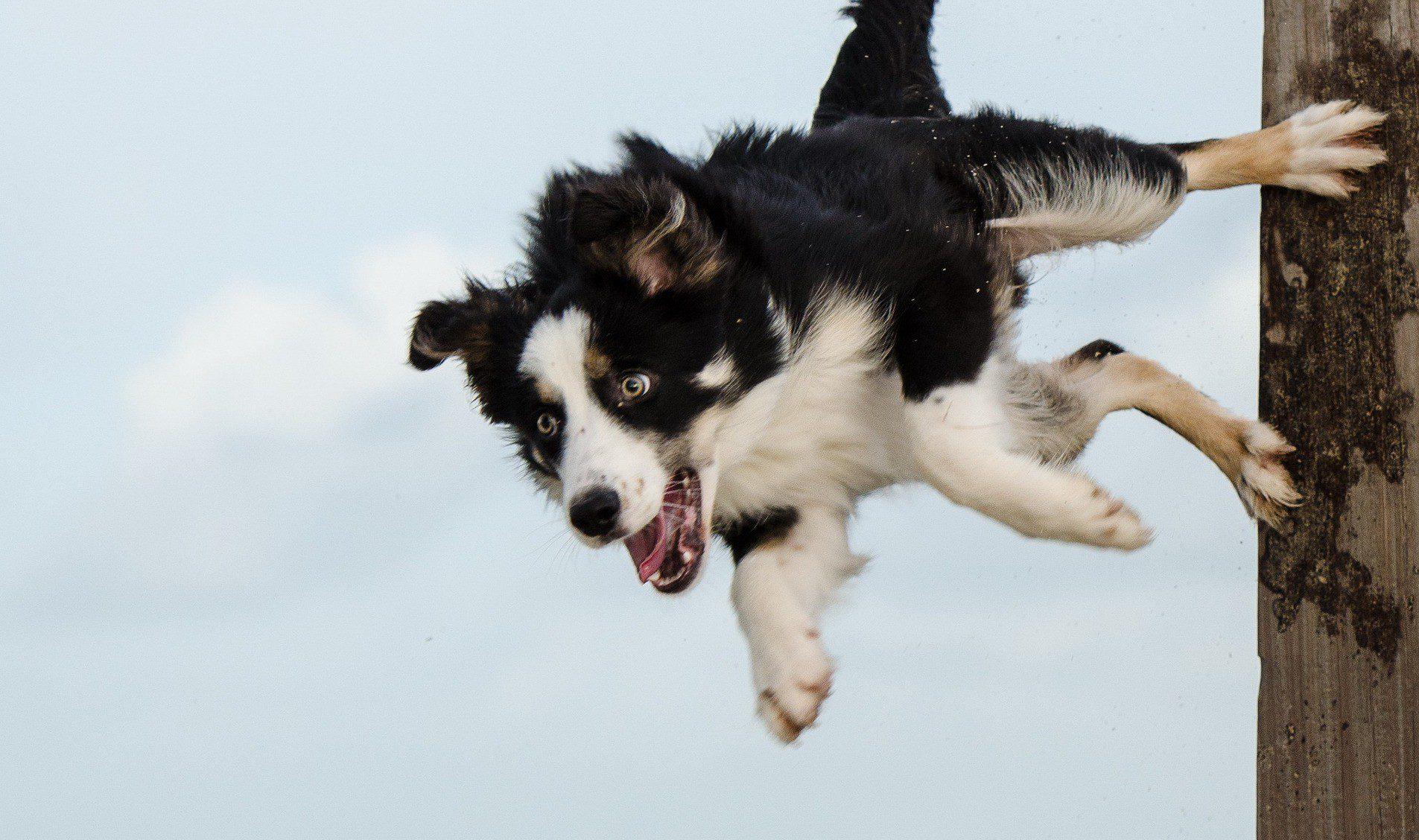 Бордер-колли в прыжке.