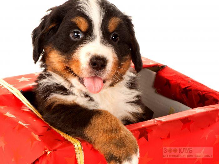 Бернский зенненхунд сидит в подарочной коробке.
