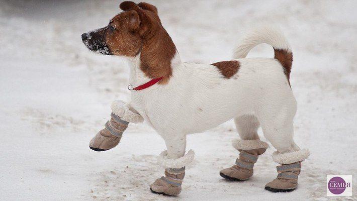 Джек-рассел-терьер в зимней обуви.