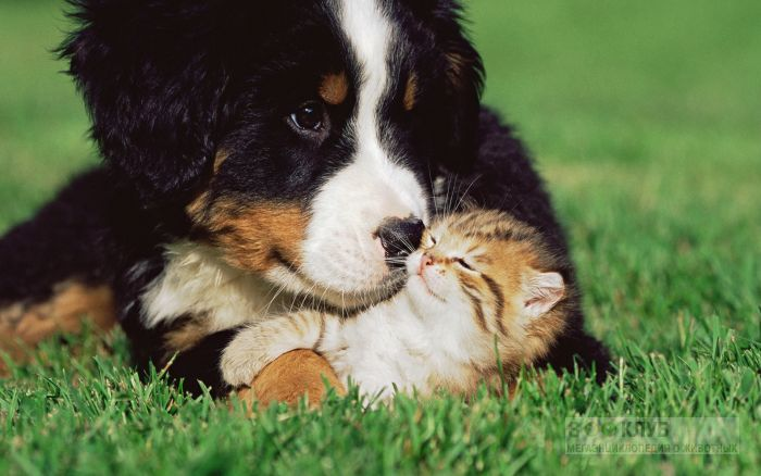 Бернский зенненхунд нюхает котенка.