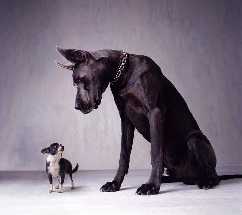 Немецкий дог и его маленький друг.