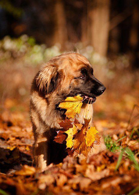 Леонбергер держит в зубах осенние листья.