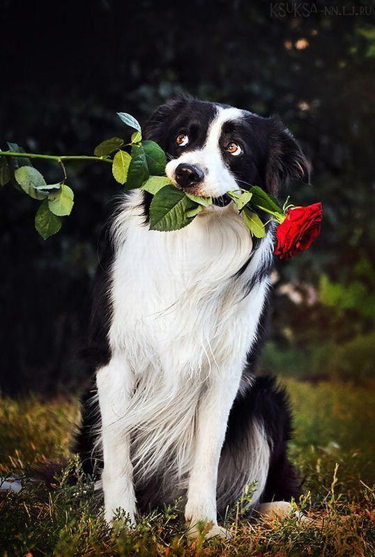 Бордер-колли держит розу в зубах.