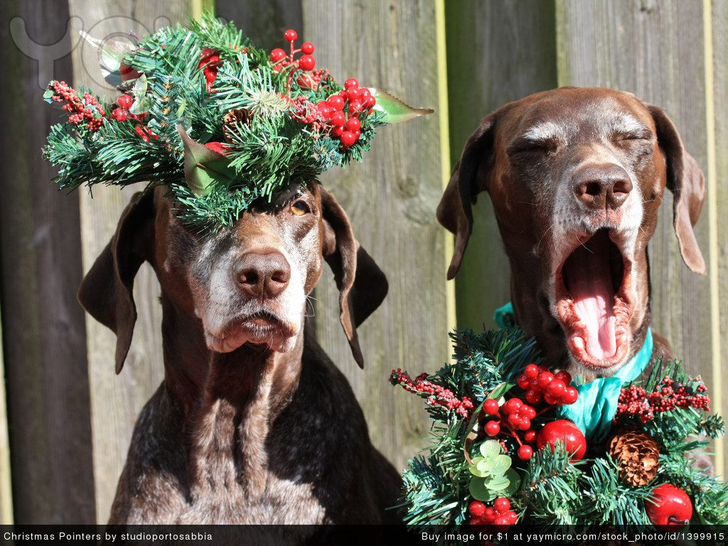 Курцхаары с рождественскими венками.