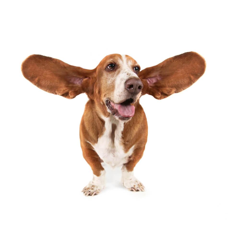 Бассет-хаунд с большими расставленными в стороны ушами.