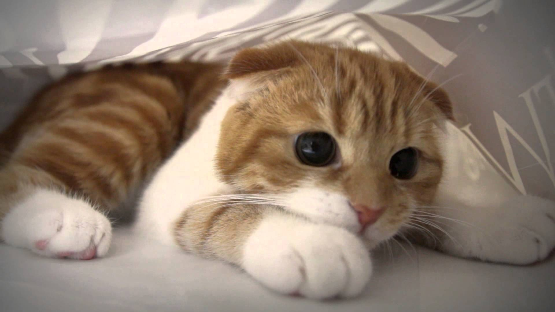 animals___cats_munchkin_cat_eye_092272_