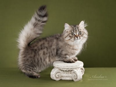 foto-kucing-napoleon