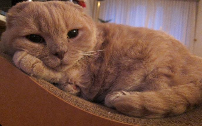 munchkin-cat-oregon-1