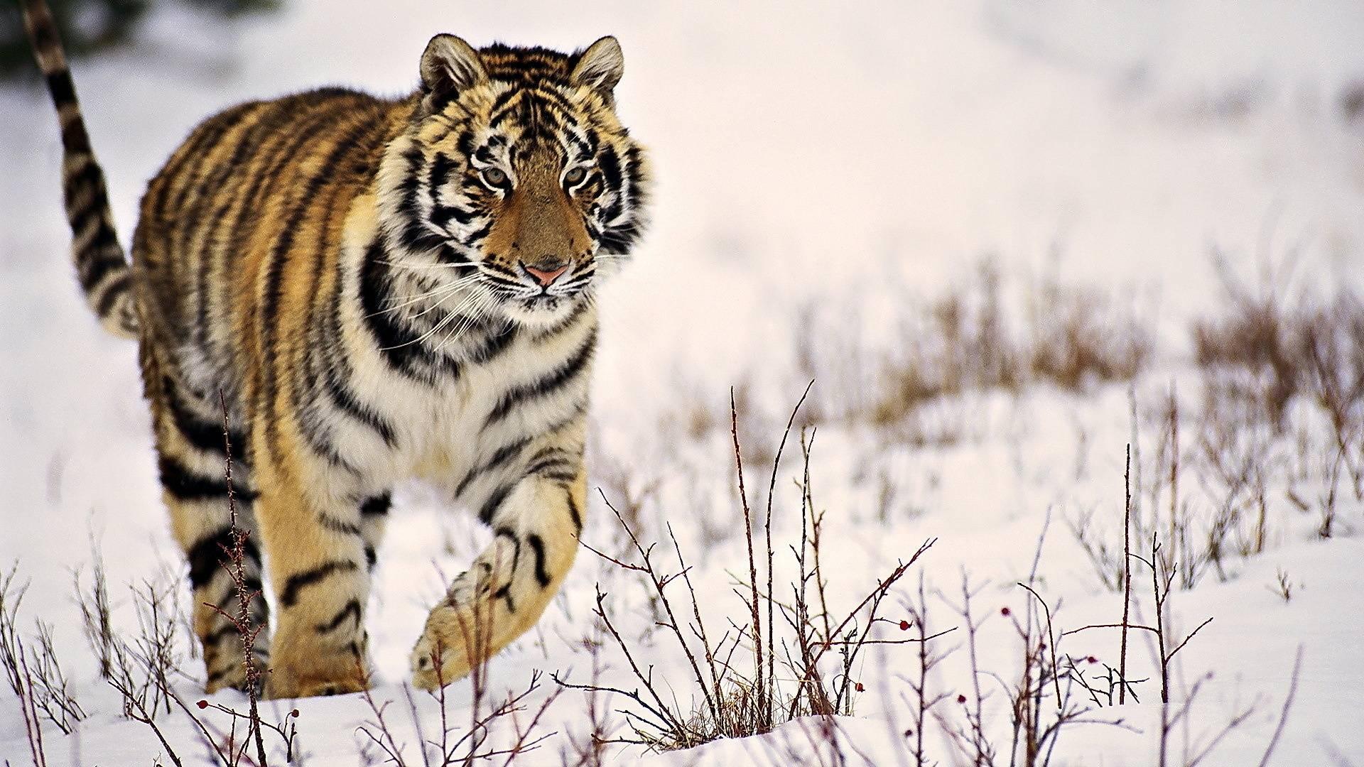 zima_polosatyy_tigr_sneg_idet_1920x1080