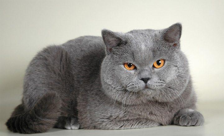 Кошки британцы коты фото картинки