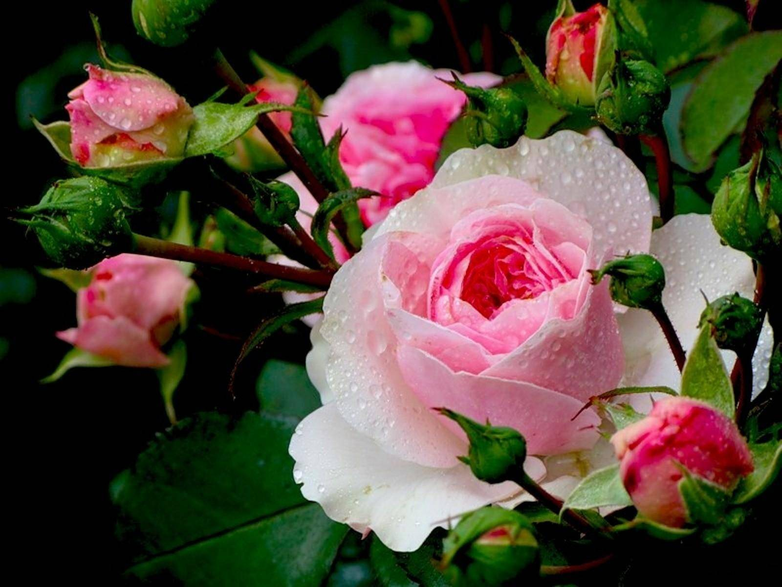 подготовке открытки чудесные розы часть