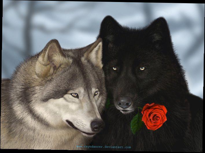 Фото черный волк