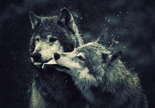 Картинки волк воет