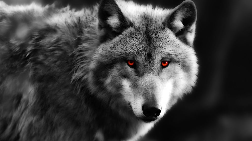 красивый волк фото