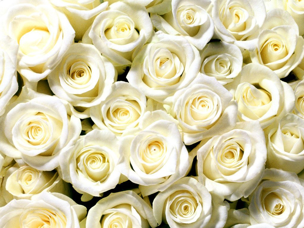 Большие открытки с белыми розами