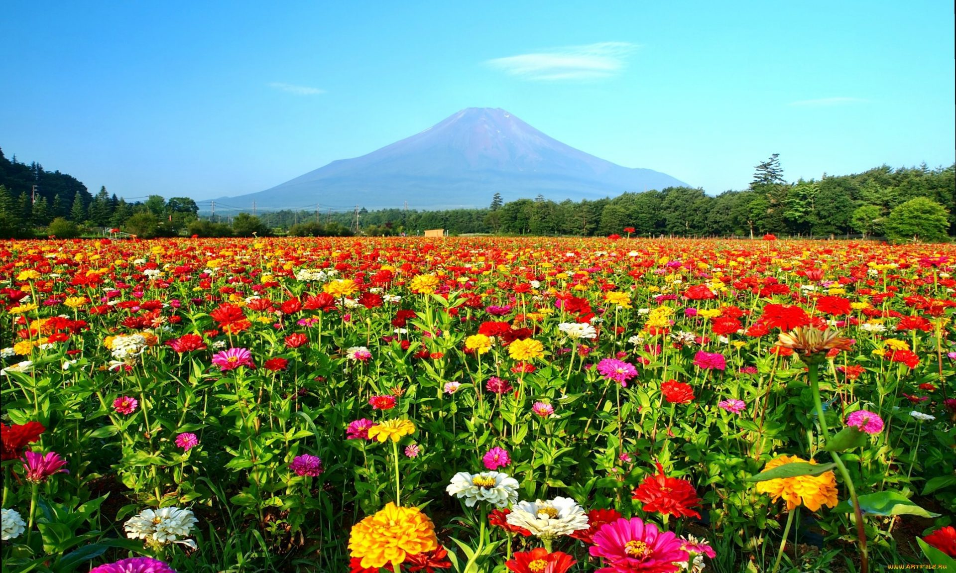 Картинка цветущая сакура