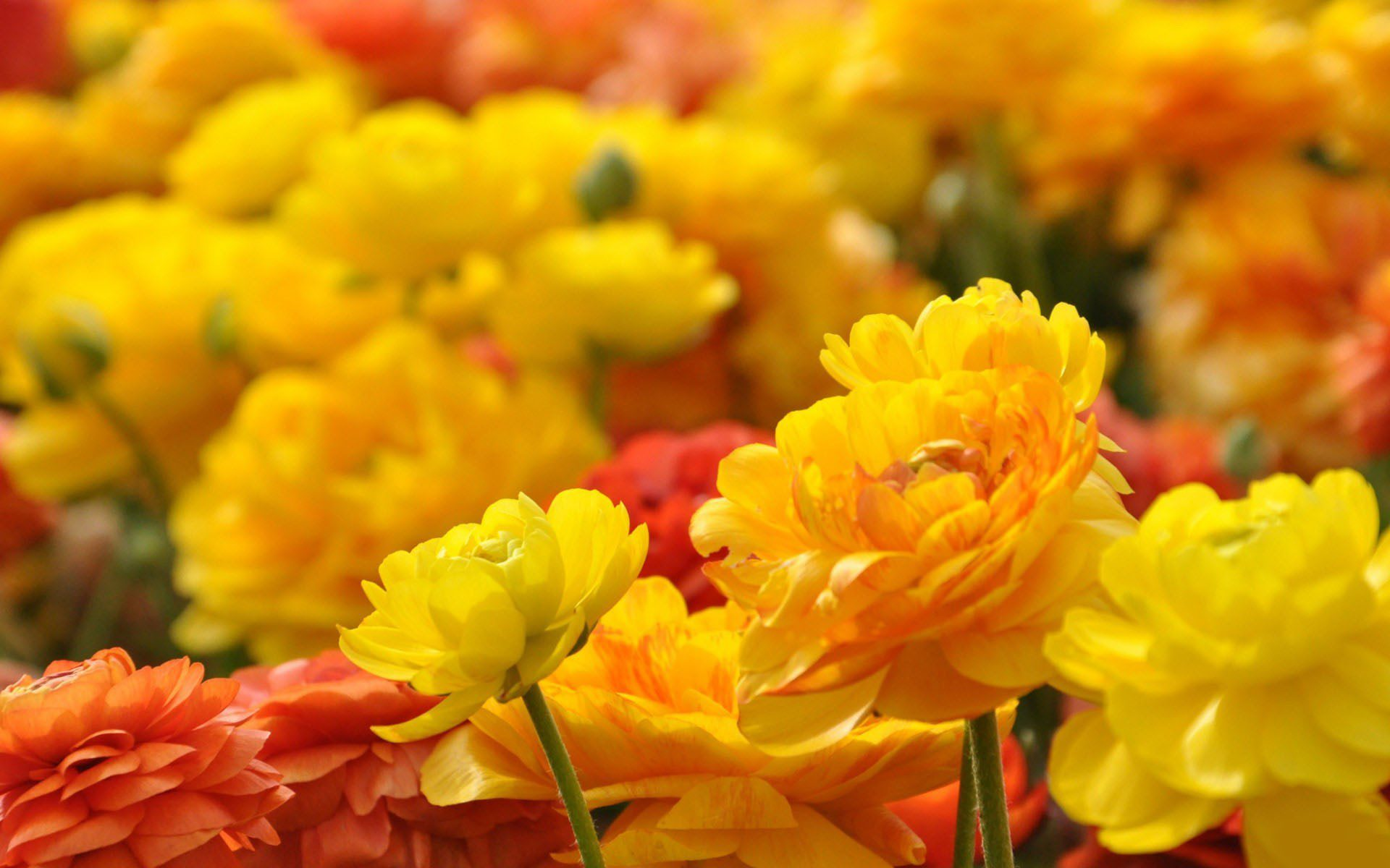 35 - Rose flower images full size hd ...