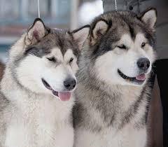 Картинки красивых собак (35 фото) • Прикольные картинки и юмор Милый Щенок Хаски