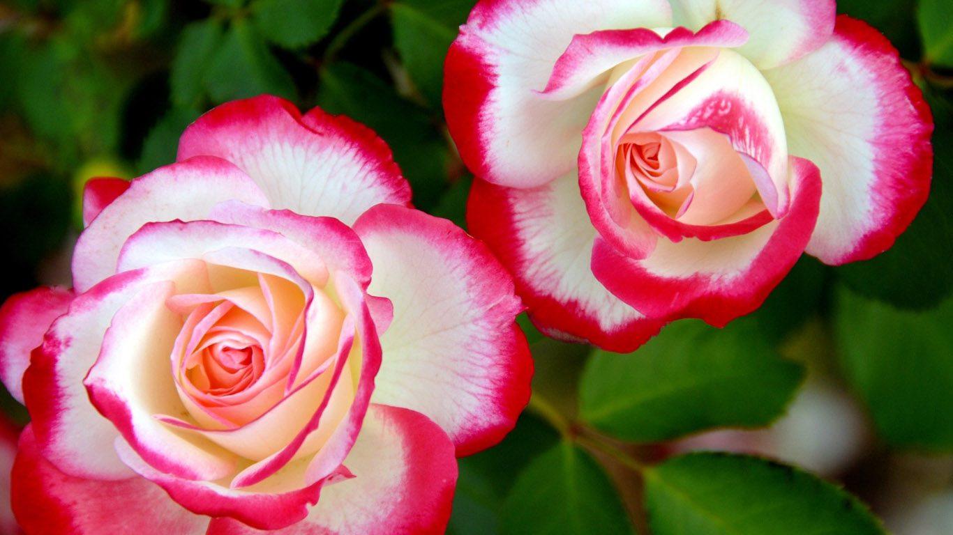 Розы красные обои на рабочий стол