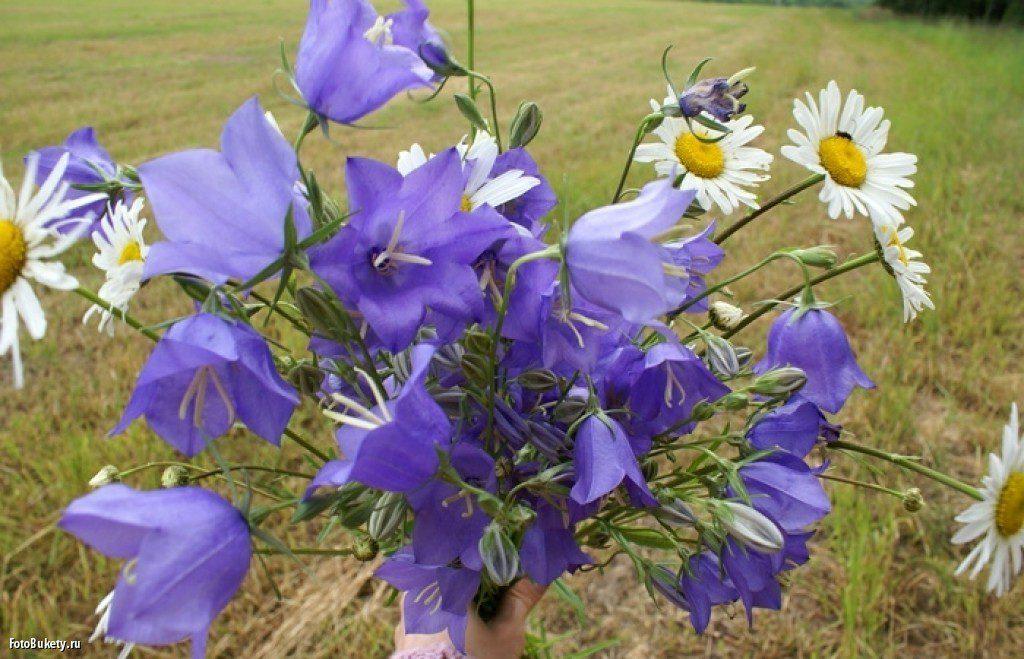 Лето  луговые цветы Открытое занятие по развитию речи