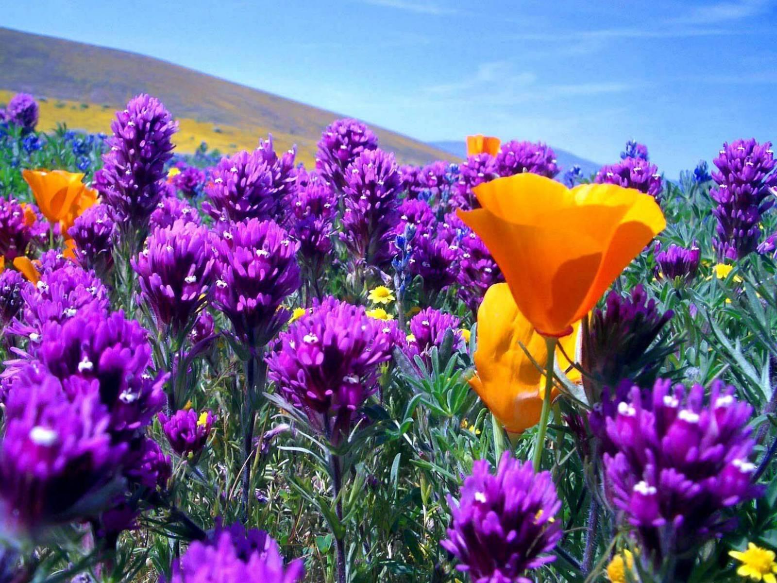 картинки полевых цветов