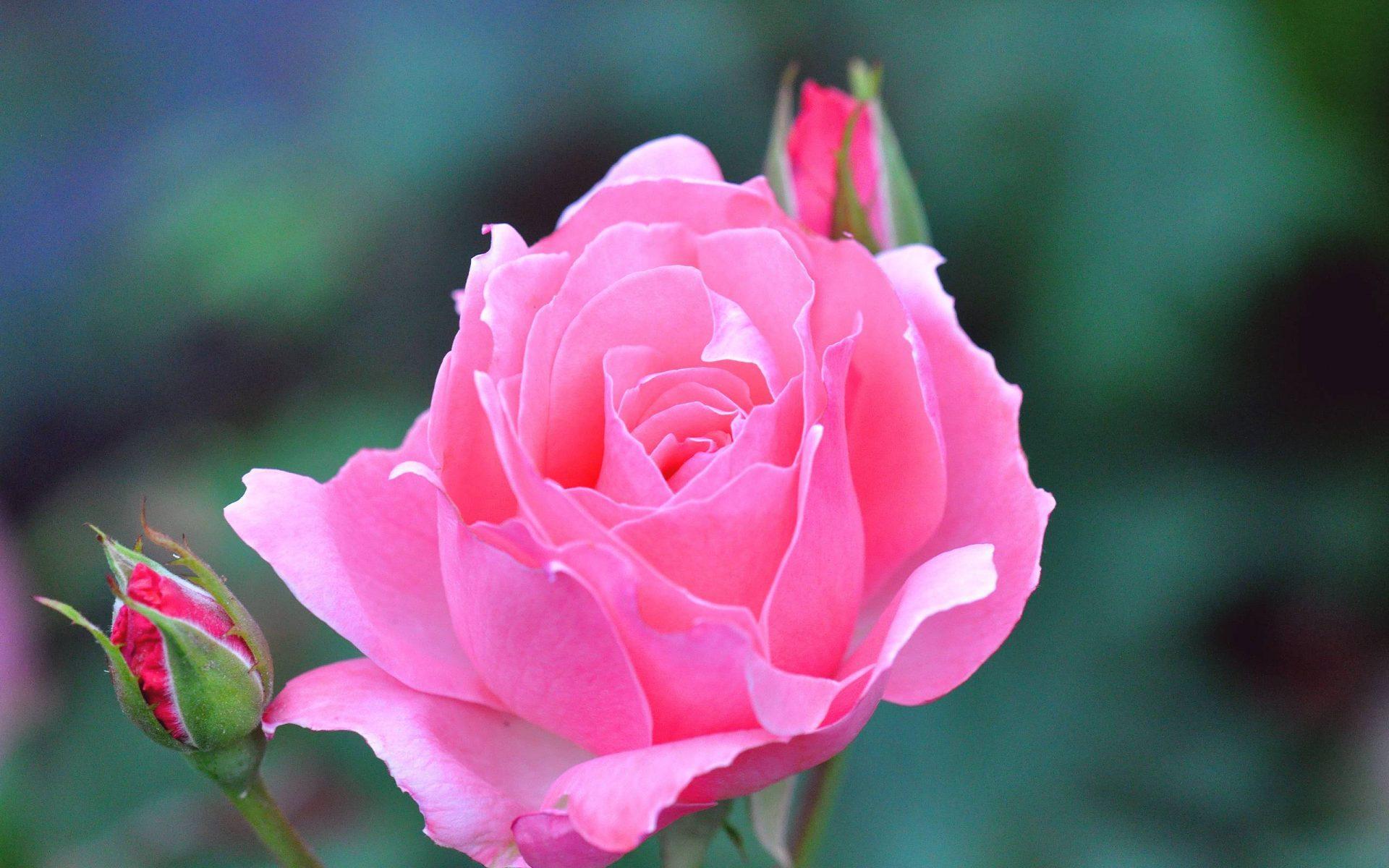 картинки на телефон большие розы только один