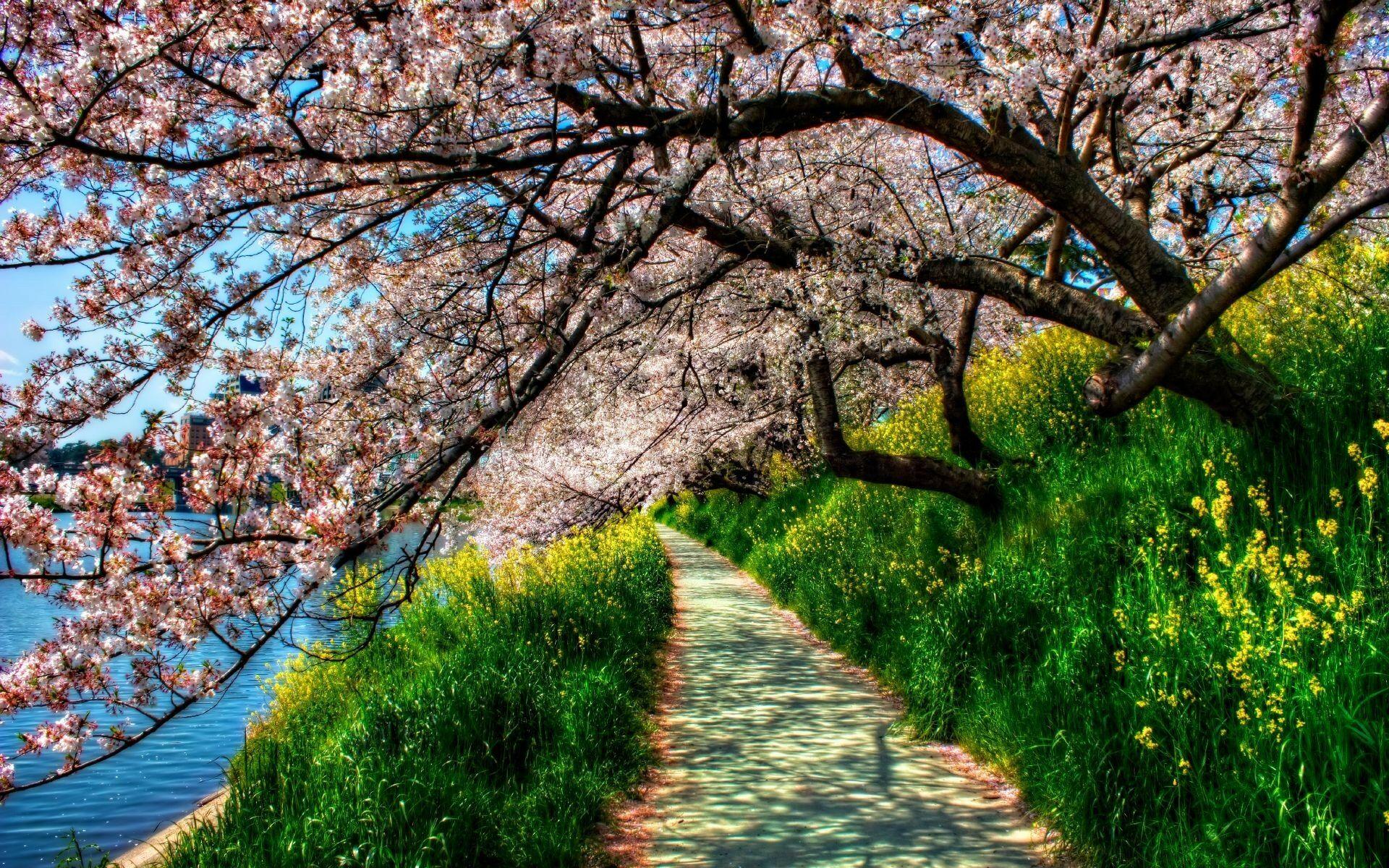Цветущая сакура картинки