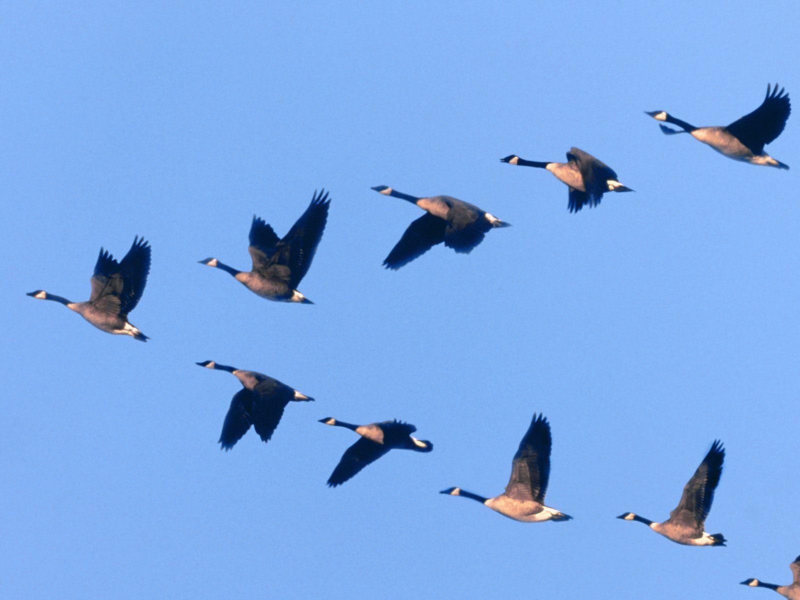 перелет птиц в картинках ресурс печатного блока