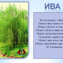 Картинки для  детей ива (13 фото)