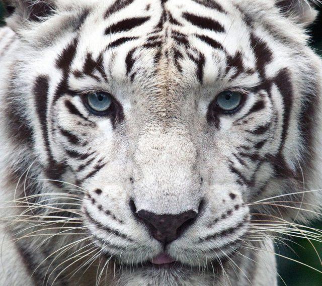 фото белого тигра