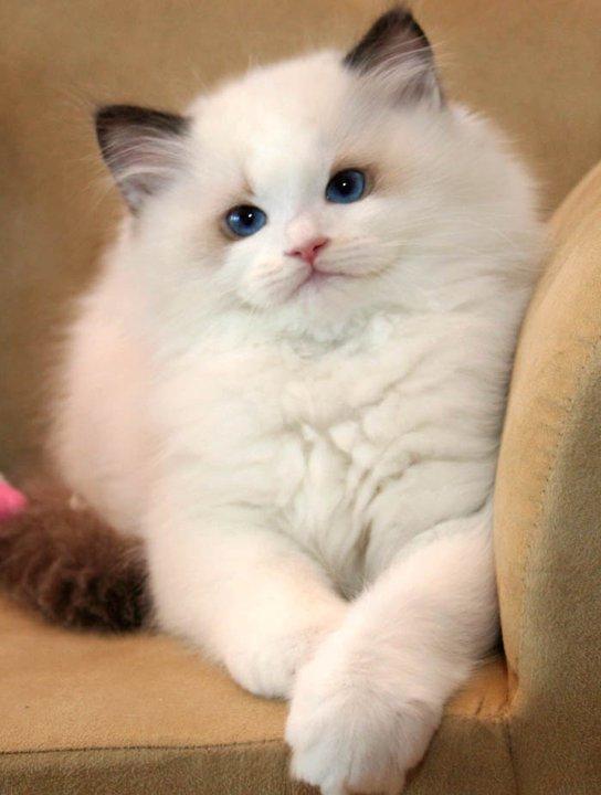 Бесплатное изображение милый котенок Персидский кот