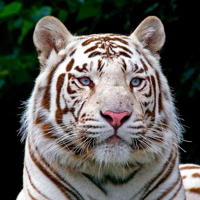 Картинки белый тигр 35 фото Прикольные картинки и юмор